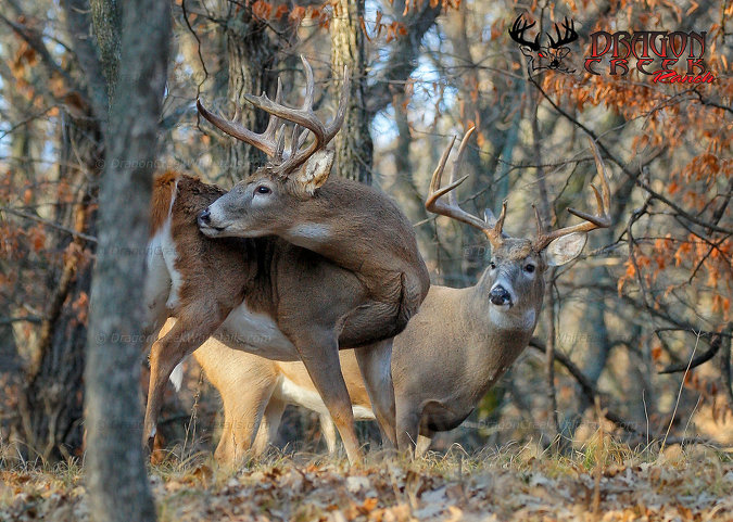 Big Whitetail Bucks in Woods