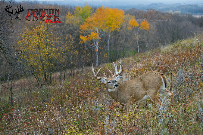 Giant whitetail in fall colors