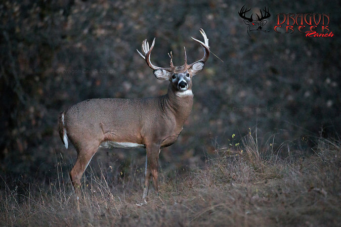 Trophy Whitetail