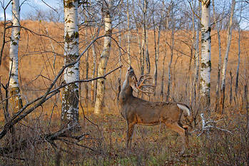 Whitetail Deer Behavior