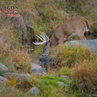 Big Whitetail Buck Drinking